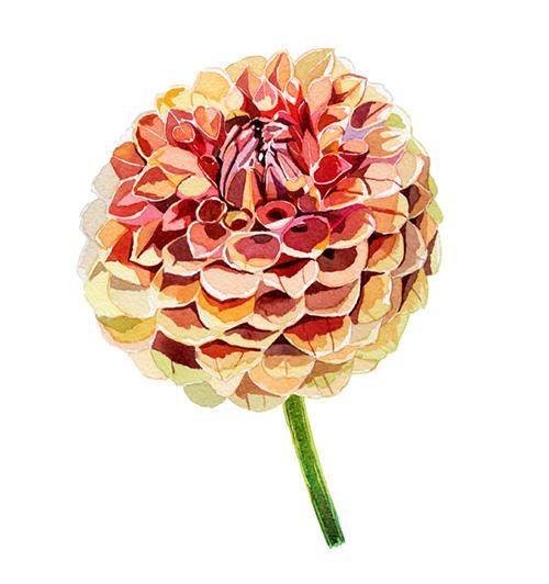 dahlia-painting-flower-illustration-watercolour-botanical