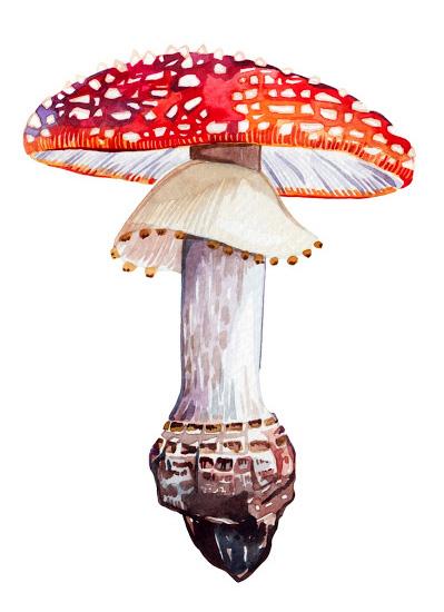 large_red_mushroom_watercolor